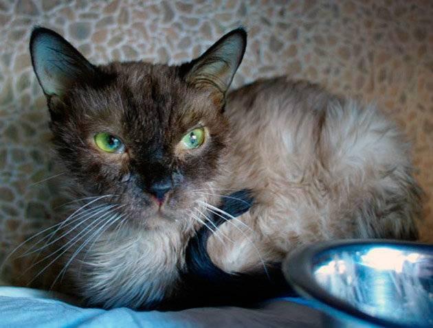 Чумка у кошек: симптомы лечение в домашних условиях