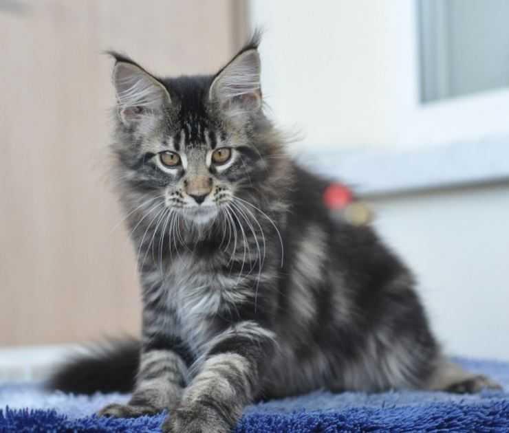 Имена для мейн-кунов мальчиков и девочек — как назвать кота или кошку