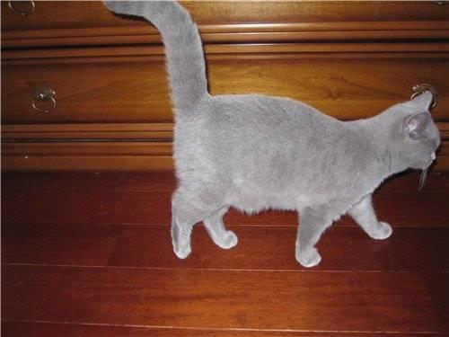 Почему у кота висит живот?