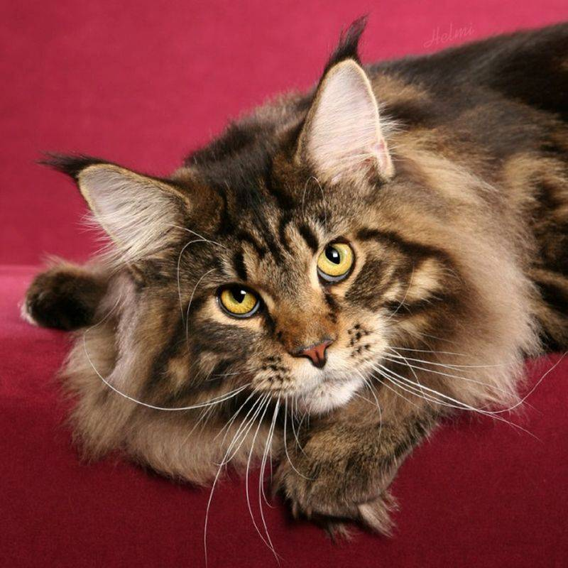 Дорогие породы котов