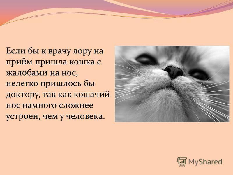 Какой должен быть нос у здоровой кошки — сухой или горячий