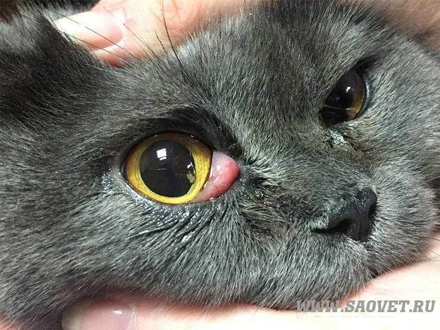 У британской кошки текут глазки. слезятся глаза у британской кошки: что делать