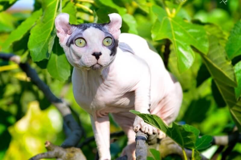Кошки эльфы: описание породы, характер, особенности ухода, история