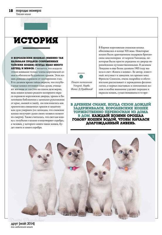 Тайская кошка: характер, особенности кормления и ухода
