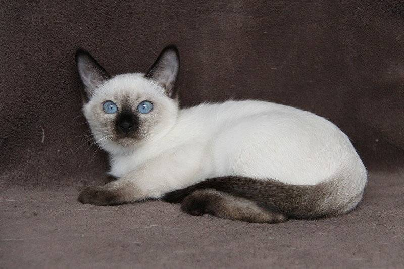 Тайская кошка - 90 фото и видео описание тайских кошек и их разведения