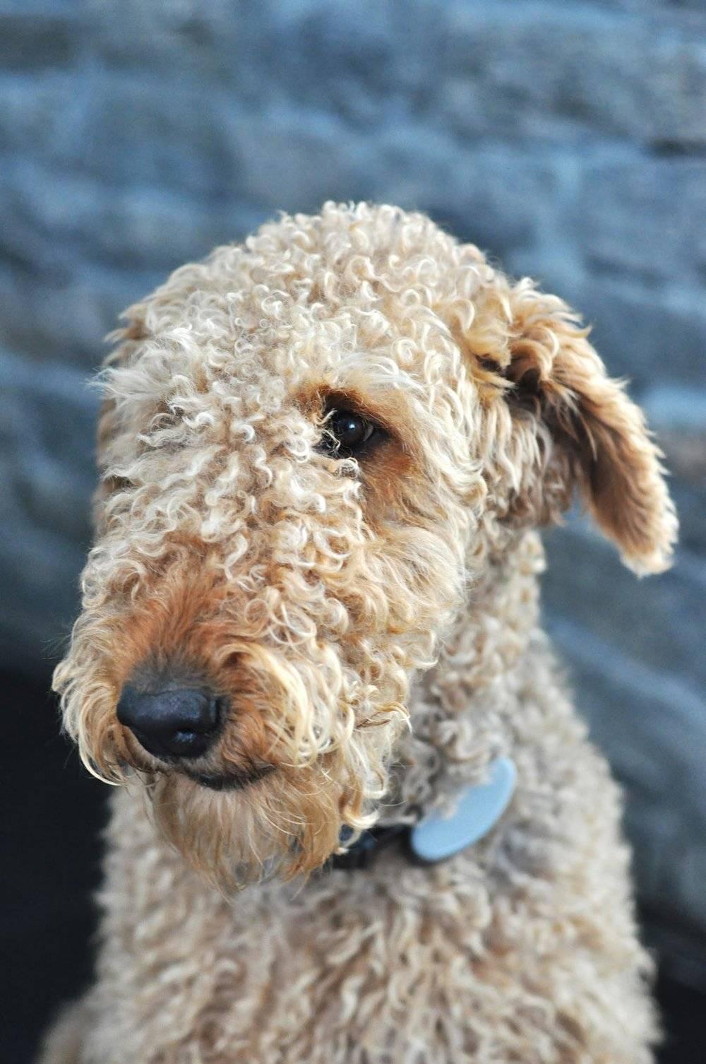 Кудрявые собаки (36 фото): описание маленьких и больших кучерявых пород. щенки черного и белого, коричневого и других окрасов