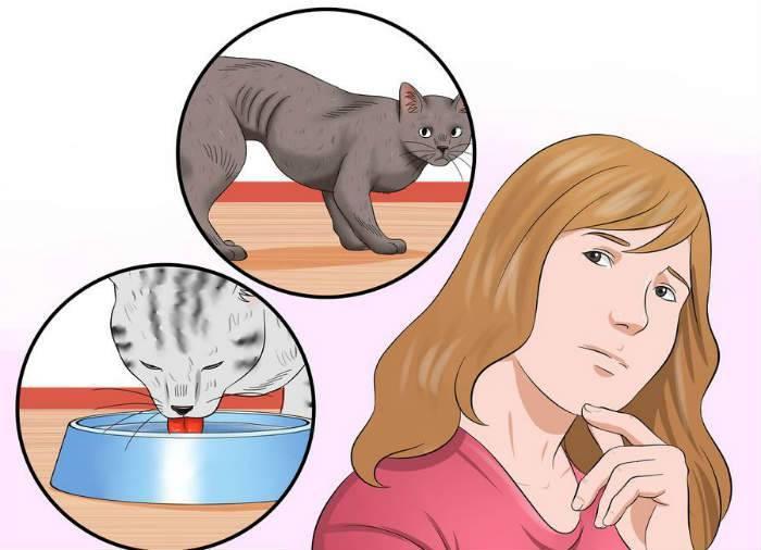Гипертиреоз кошек: причины, симптомы, лечение