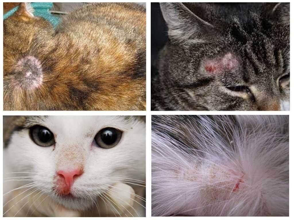 Чем лечить лишай у кошек: как определить лишай - симптомы и начальная стадия стригущего лишая - что делать, если у кошки лишай и как он выглядит - фото и видео на сайте лапы и хвост