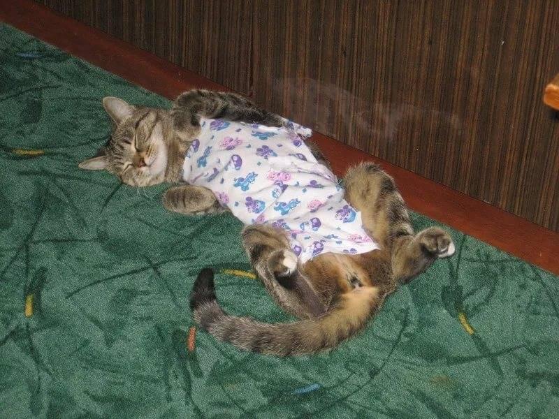 Продолжительность течки у кошки и способы успокоения: частота гуляния животного