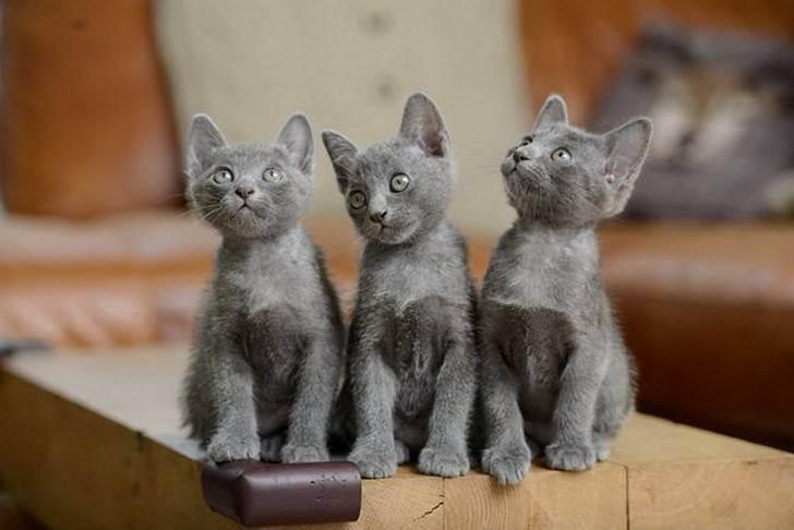Корат (si-souvat или приносящая счастье) кошка: подробное описание, фото, купить, видео, цена, содержание дома