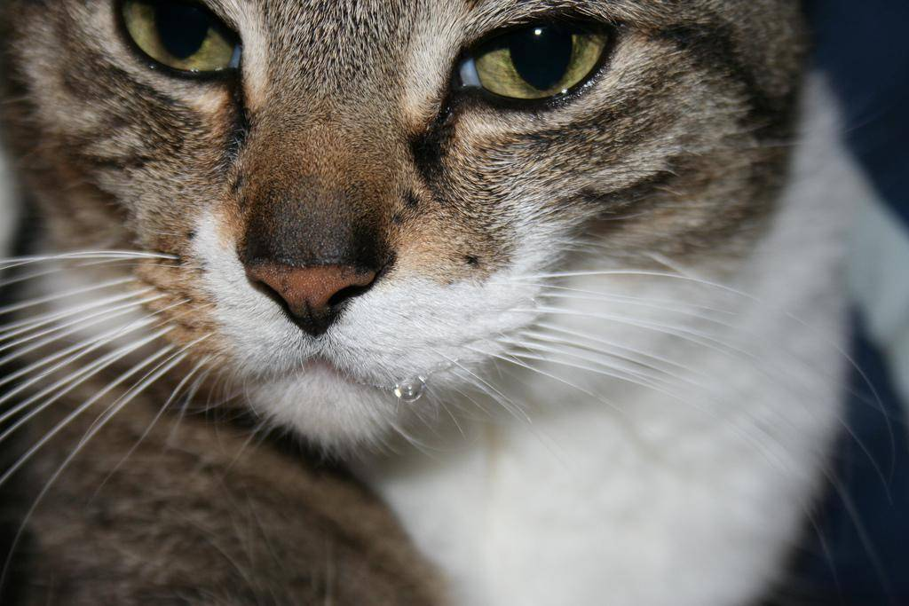 У кота текут слюни изо рта, в том числе каплями и прозрачные как вода: почему это происходит и что делать