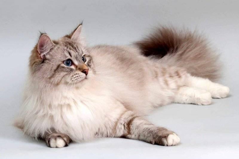 Британская длинношерстная кошка: описание породы с фотографиями
