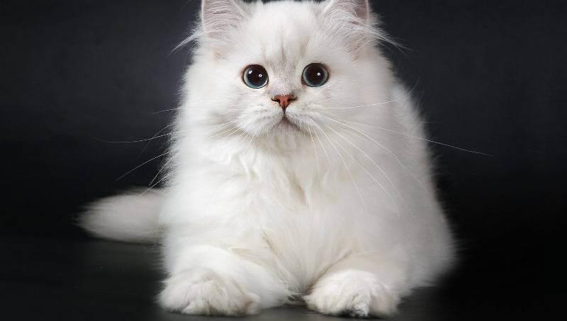 Хайленд страйт – шотландская прямоухая длинношерстная кошка
