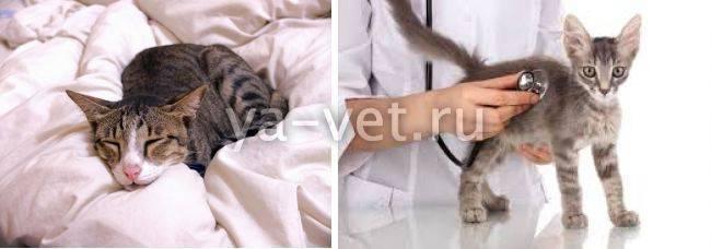 Пневмония у кошек: симптомы, лечение | zoosecrets
