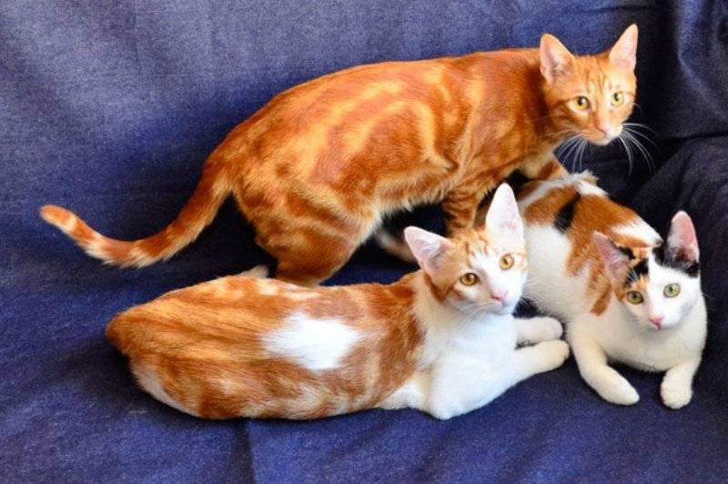 Европейская короткошерстная кошка: все о кошке, фото, описание породы, характер, цена