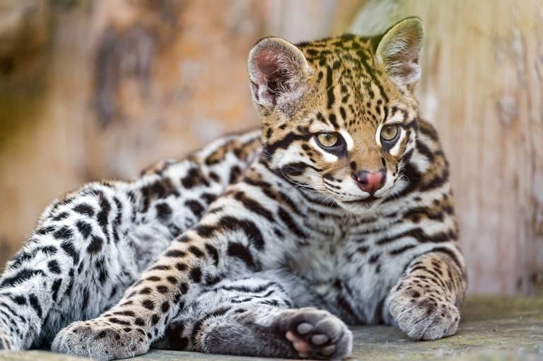 Амурский лесной кот (дальневосточный): описание, фото, характер, среда обитания и образ жизни