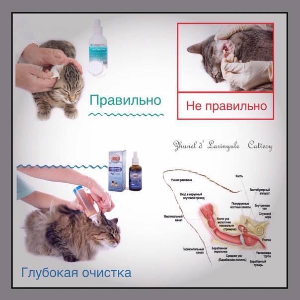 Как чистить уши кошке в домашних условиях своими руками