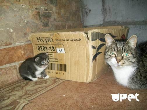 Чем отличаются британские коты от шотландских
