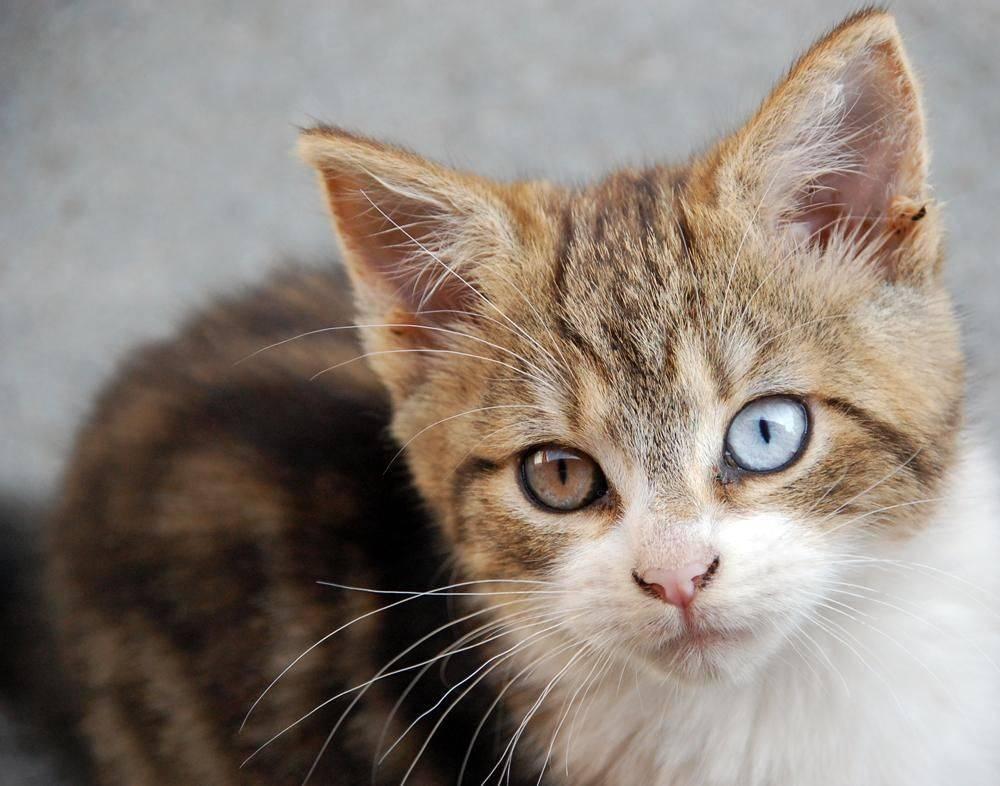 Цвет глаз шотландских кошек
