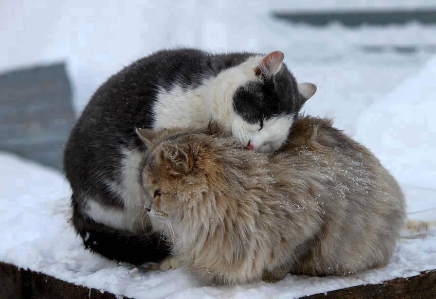 Мерзнут ли кошки зимой? коты зимой экстремально отрицательные температуры.