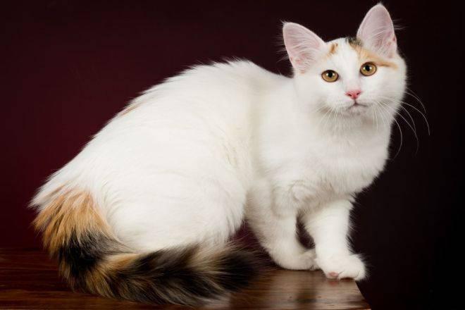 Турецкий ван (ванская кошка) — подробный обзор породы с фото и видео. описание внешности, характера, и всех особенностей породы + отзывы и рекомендации ухода за шерстью