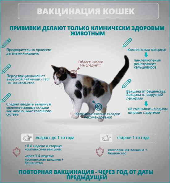 Чумка у кошек - пути передачи и инкубационный период, симптомы, диагностика, методы лечения и дезинфекция