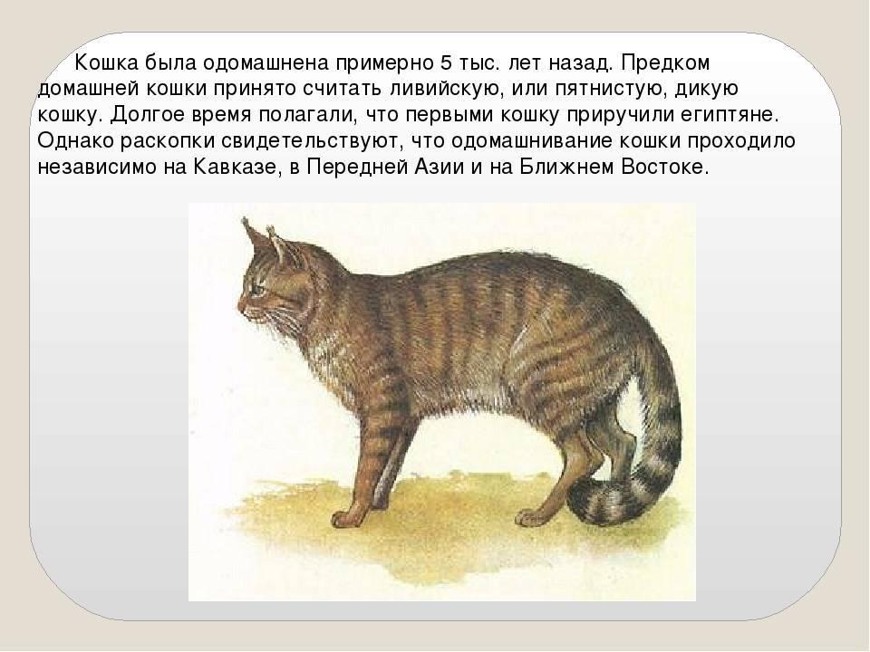 Происхождение кошек. история древних и современных кошек   блог о домашних животных