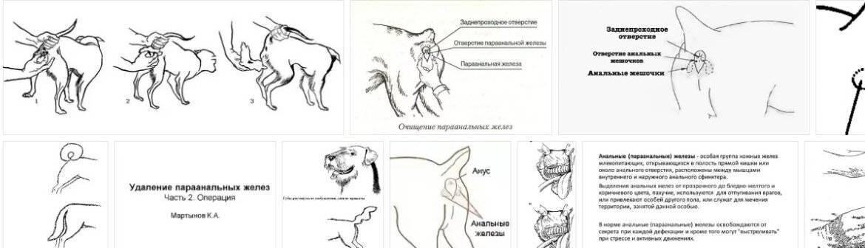 Параанальные железы у кошек | воспаление, чистка, выделения, видео