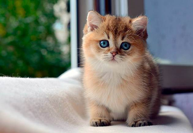 Как правильно выбрать британского котенка— основные правила
