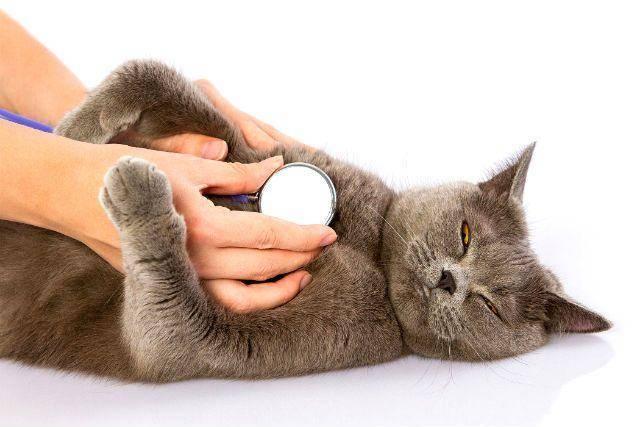 Кот с открытым ртом, тяжелым и частым дыханием – причины состояния, первая помощь, диагностика, лечение