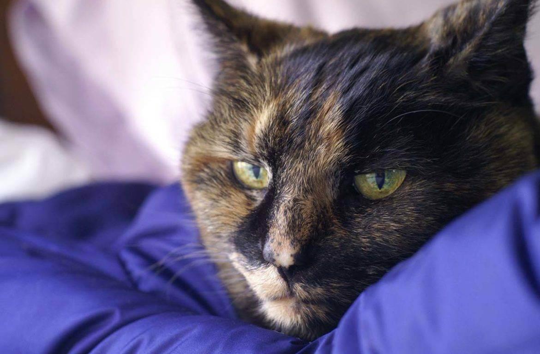 Инфекционный гепатит у кошек лечение - печень и здоровье
