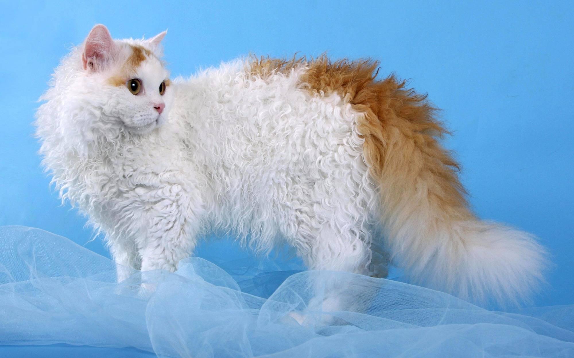 Ванские кошки: фото и характеристики породы, какова цена турецкого вана в россии