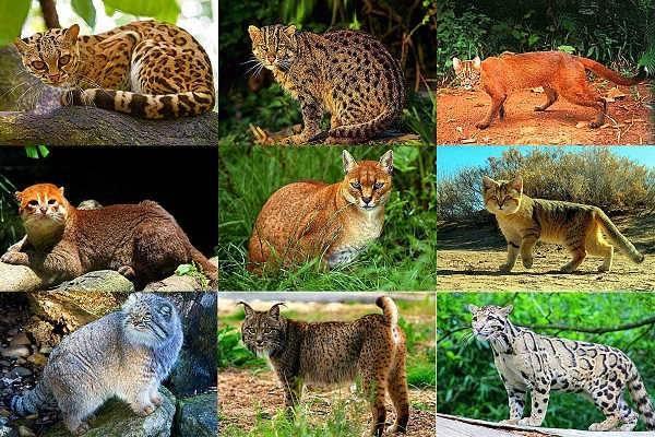 Животные семейства кошачьих - виды и особенности