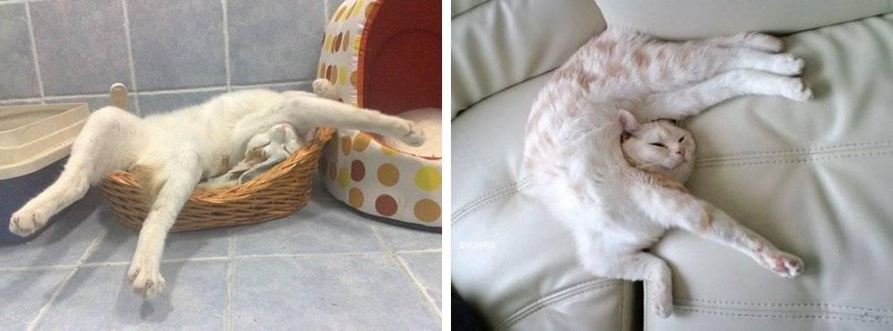 Почему кошка спит на спине