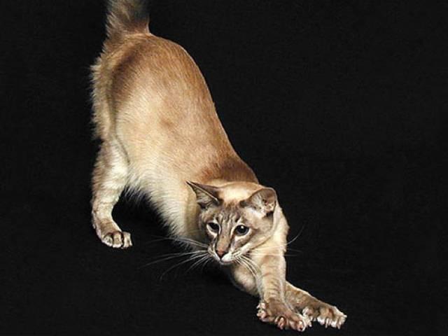 Яванская кошка: фото, характер, цена, отзывы владельцев яванеза