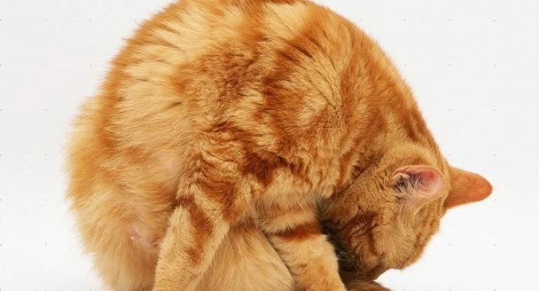 Кот лижется постоянно, облизывается и сглатывает слюну, вылизывается под хвостом: 8 причин