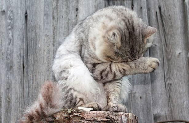 Суши кота! можно ли сушить кошку феном? как быстро высушить кошку после купания