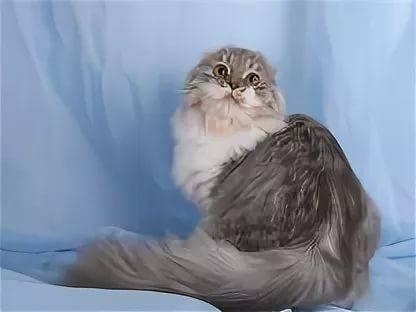 Кошки хайленд-фолд