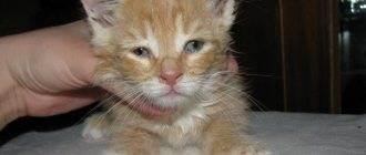 Насморк у кошки симптомы и признаки
