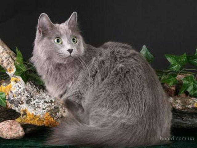 Русская голубая кошка - 90 фото, видео описание породы и нюансы ее характера