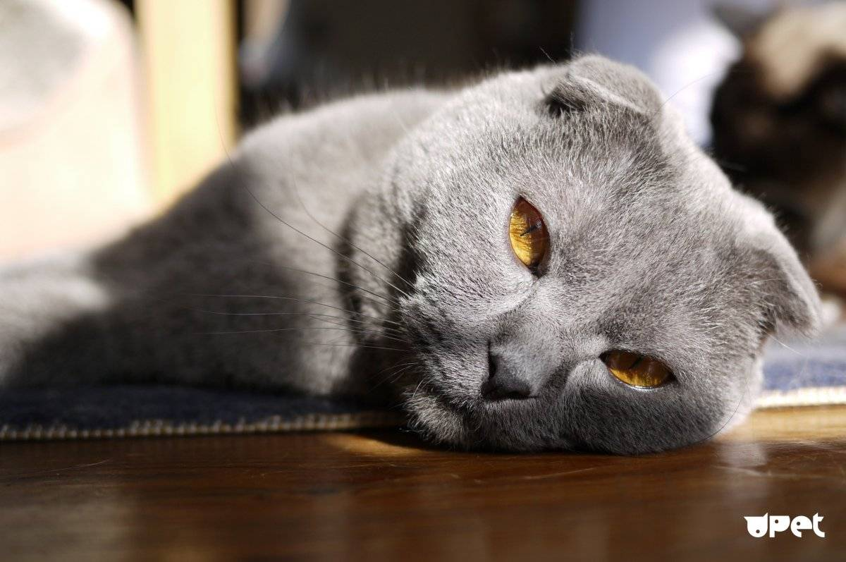 Порода шотландская вислоухая кошка: фото, описание, характер