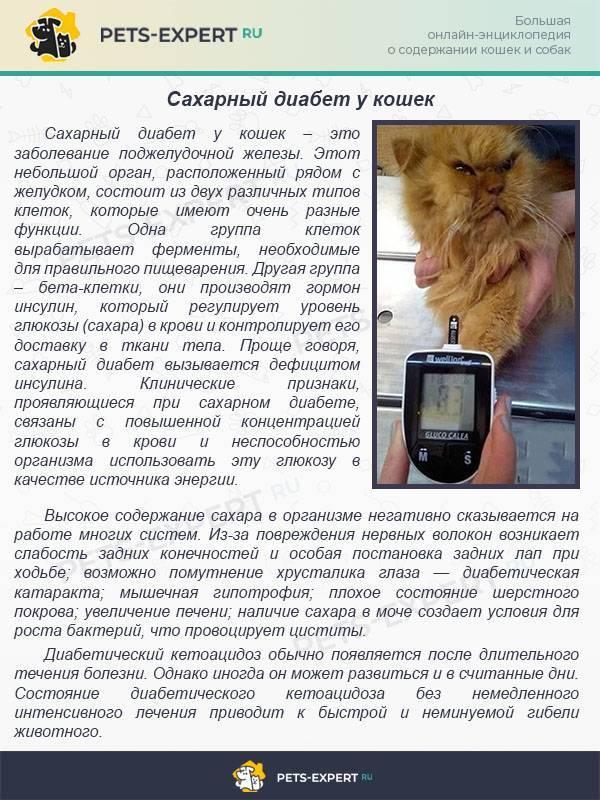 Сахарный диабет у кошек: причины, симптомы и лечение, прогноз и профилактика