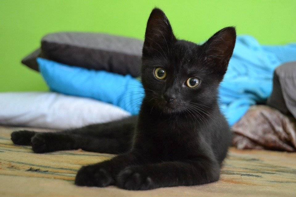 У кого длиннее шерсть, или самые пушистые породы кошек