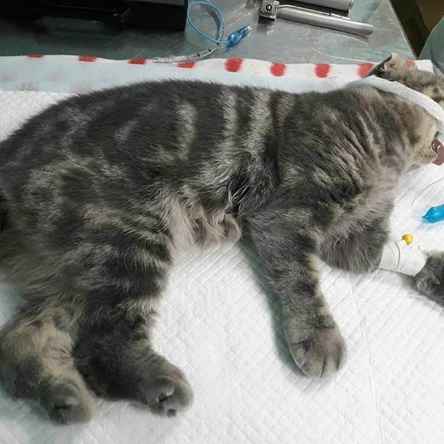 Кот сопит когда дышит британец. ваша кошка храпит? первые признаки заболеваний