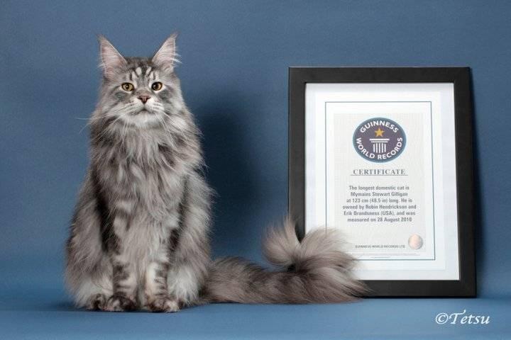 Самый толстый кот в мире: известные, рекордсмены гиннеса