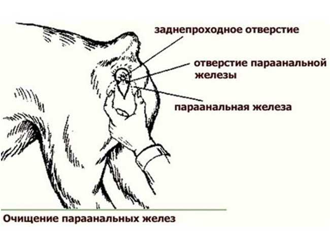 Чистка параанальных желез у собак: как почистить, когда нужно это делать