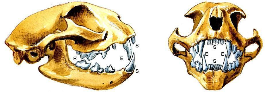 Зубы кошки и строение челюсти животного – интересные факты