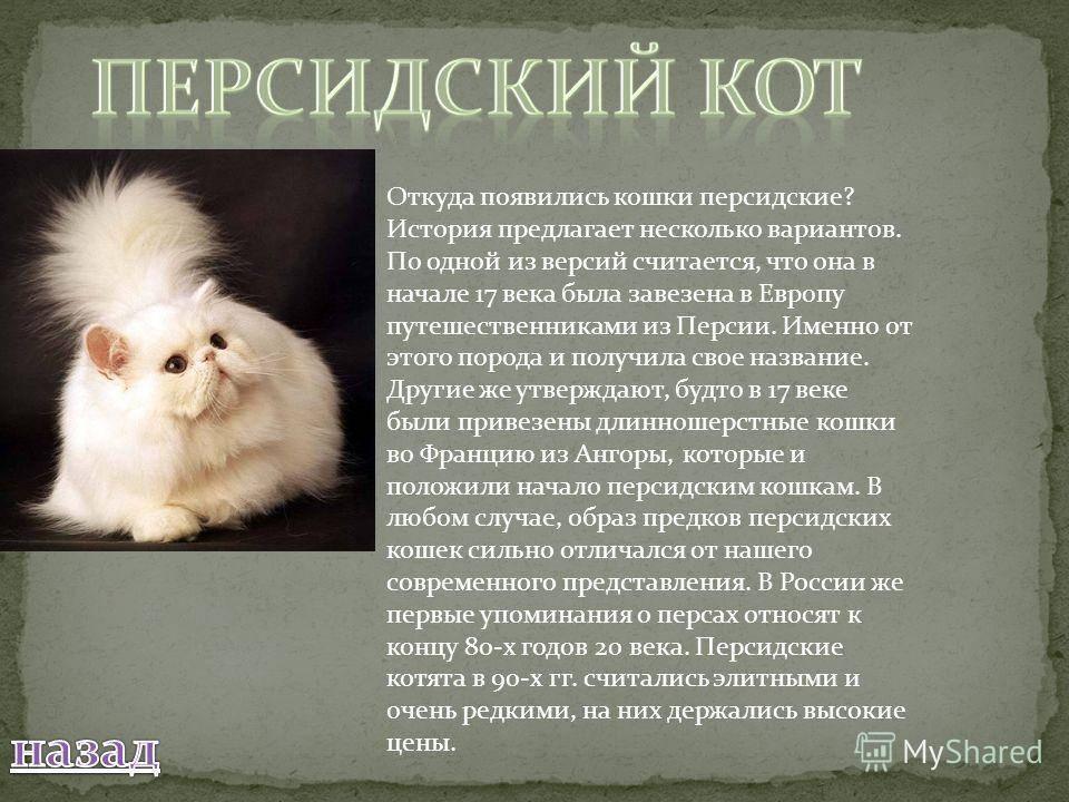Персидская кошка: описание породы и характера, особенности ухода, цена, фото