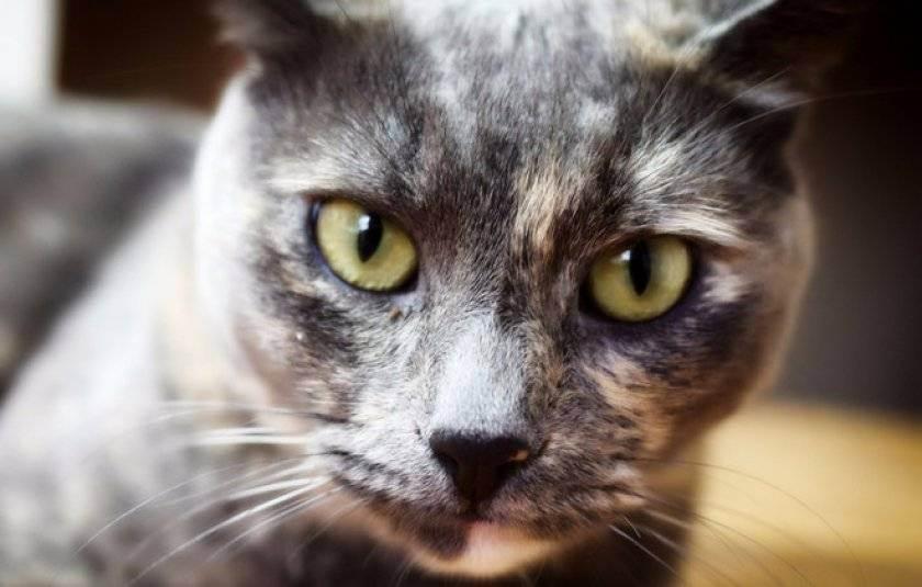 Гипертиреоз у кота симптомы