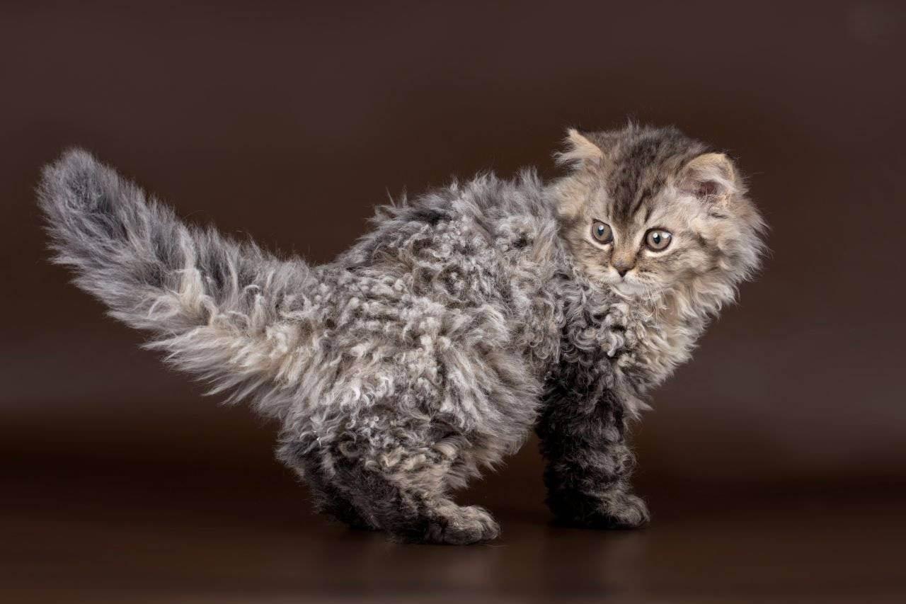 Происхождение кудрявых кошек: наиболее популярные породы и разновидности